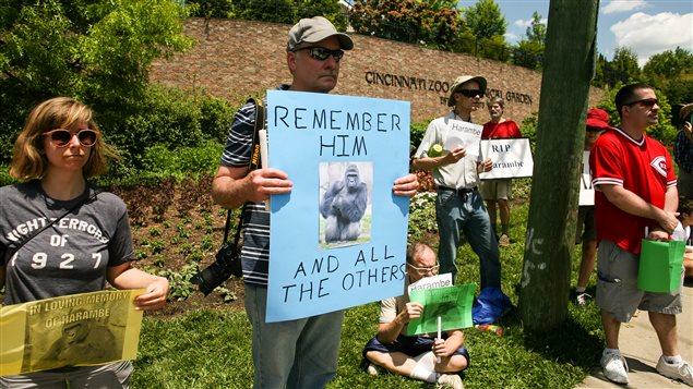 gorille abattu pour sauver un enfant